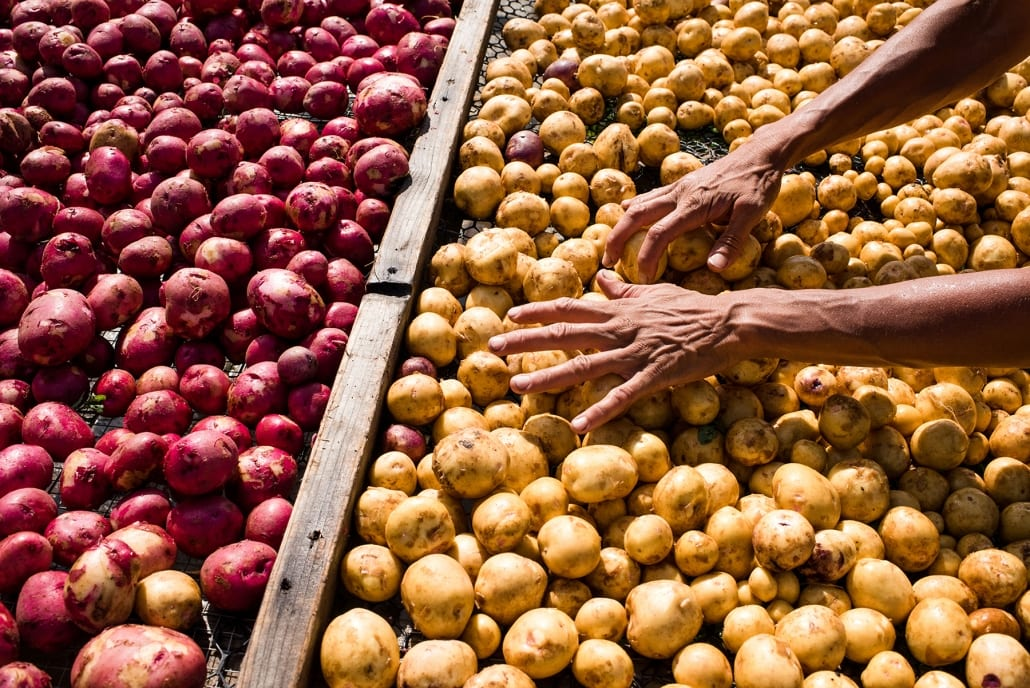 Bozeman Family Photography Gallatin Valley Botanical Farm Potatoes hands