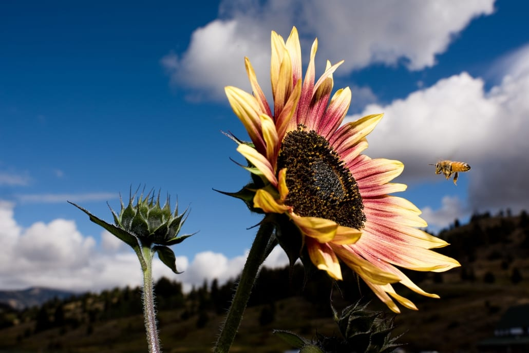 Bozeman Family Photography Gallatin Valley Botanical Farm Sunflower Bee