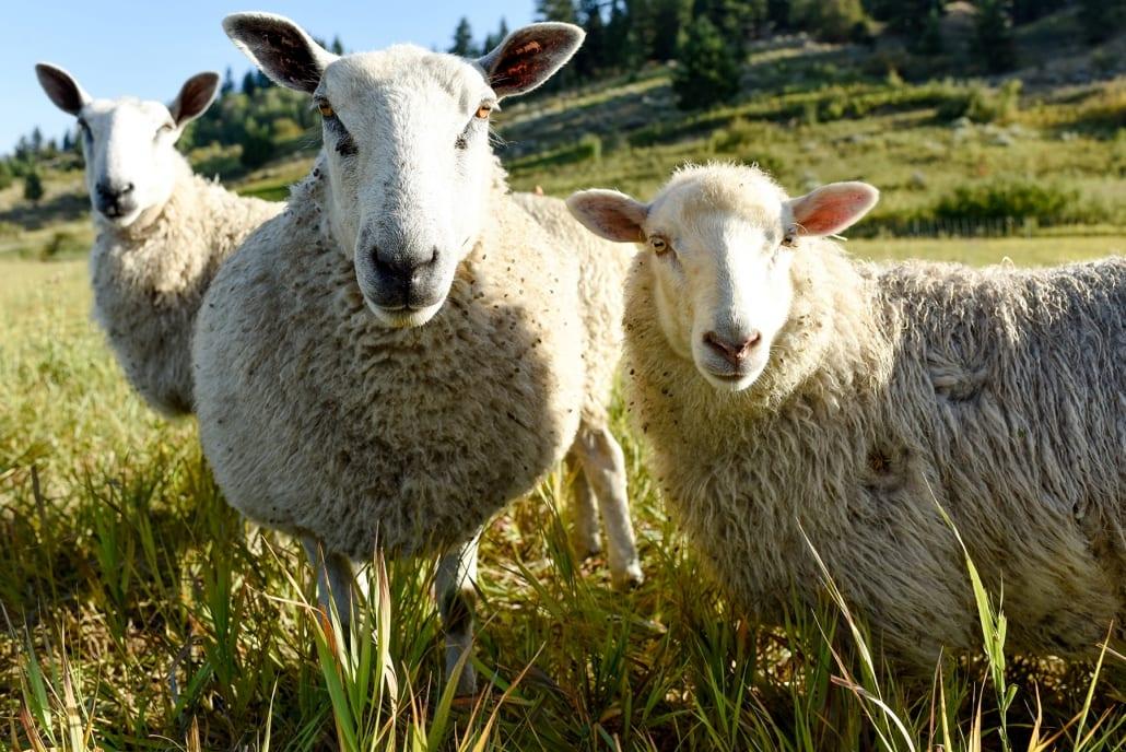 Bozeman Portrait Photography Gallatin Valley Botanical Farm Lambs