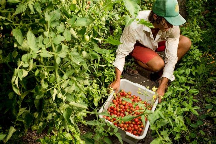 Bozeman Portrait Photography Gallatin Valley Botanical Farm Tomatoes