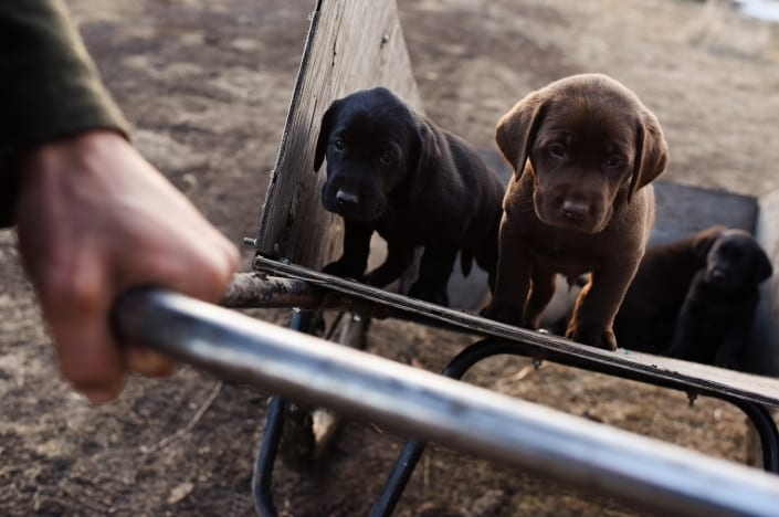 Bozeman Pet Photography labradors puppies Gallatin Valley Botanical
